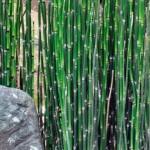 Free Natural Decor – Barred Horsetail
