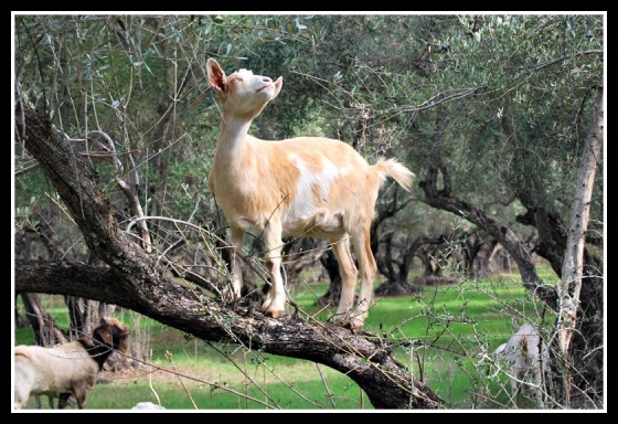 Goats pruning Chaffin Orchards