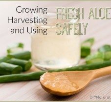 How to Grow, Harvest, and Use Fresh Aloe Safely