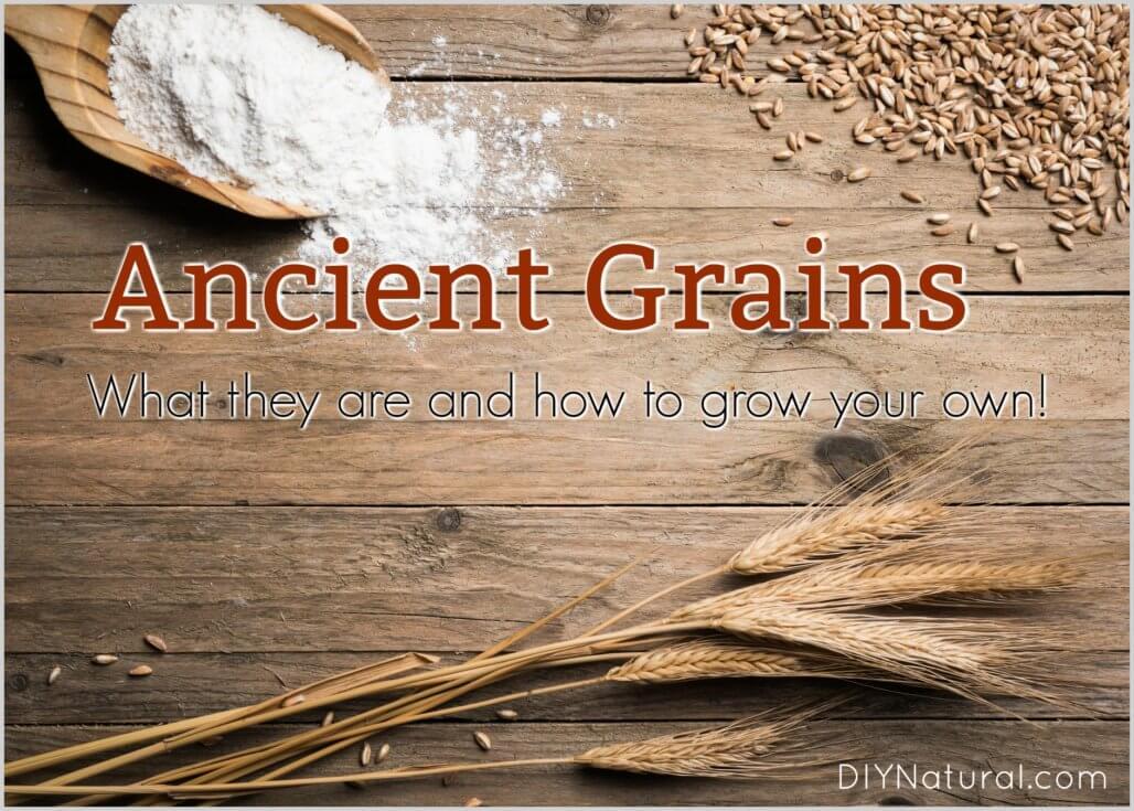 Ancient Grains grow