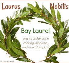 Bay Laurel (Laurus Nobilis) in Cooking and Medicine