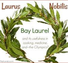 Bay Laurel (Laurus Nobilis) in Cooking and Medicine