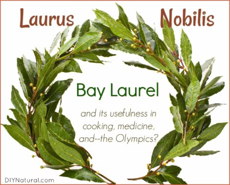 Bay Laurel Laurus Nobilis