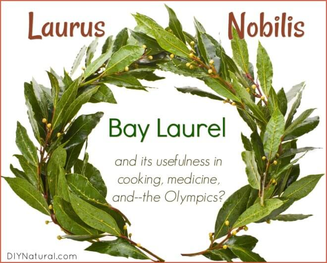 Bay Laurel Laurus Nobilis
