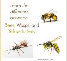 Difference Between Bees, Wasps, and Yellow Jackets