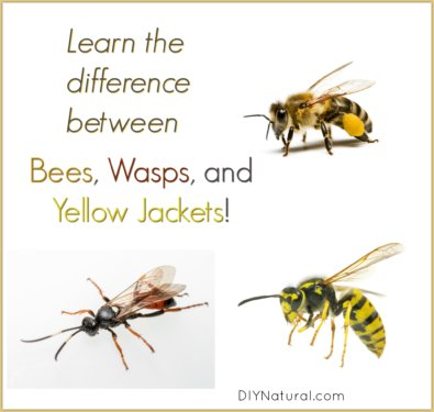 Bees Wasps and Yellow Jackets