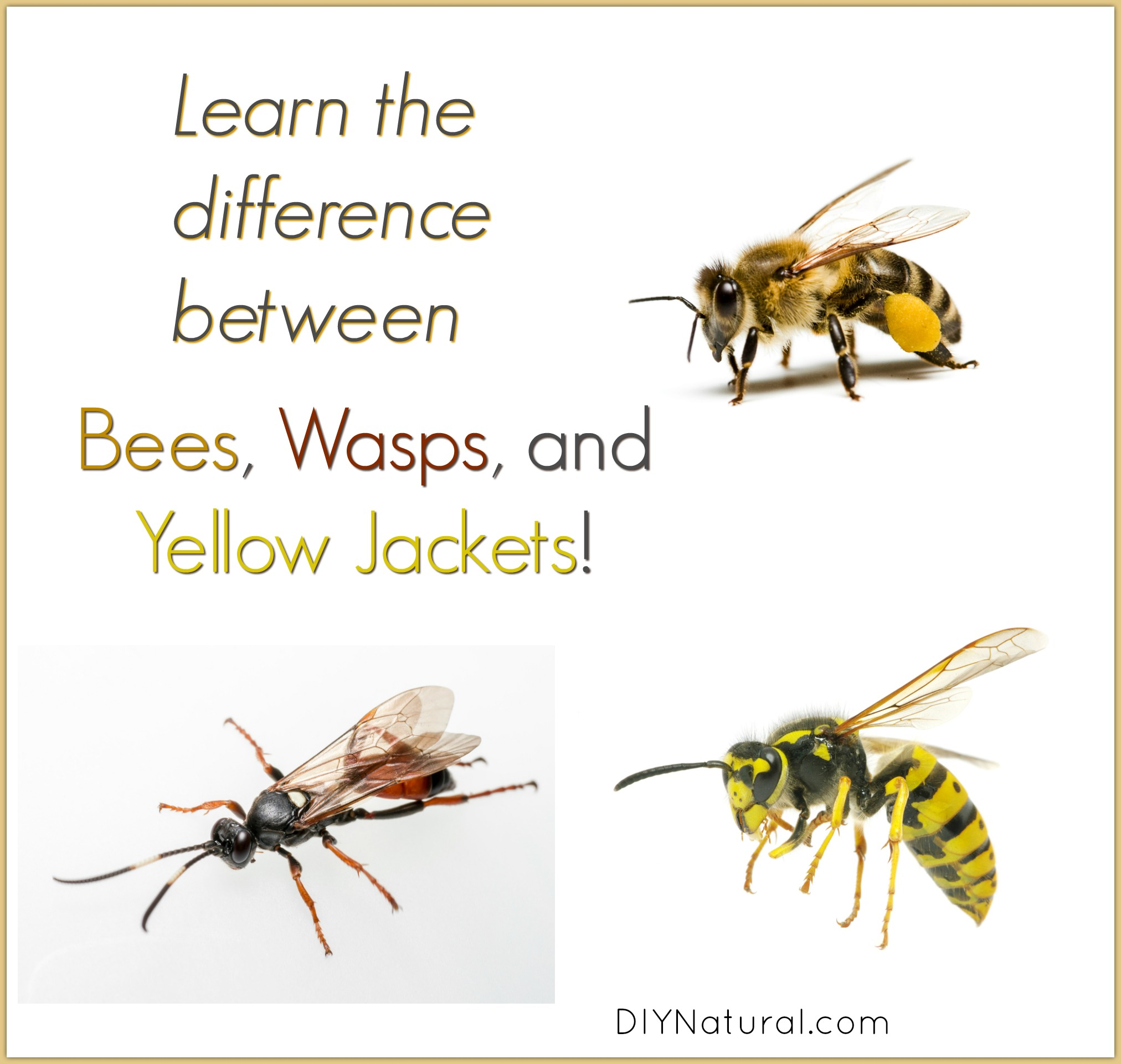 Difference between bees and wasps pictures