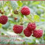 Red Raspberry Season & A Raspberry Risotto Recipe