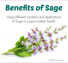 Benefits of Sage and Using It to Support Better Health