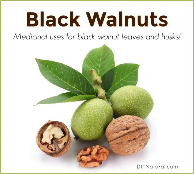 Black Walnut Leaves Medicinal
