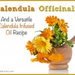Calendula Uses & a Homemade Calendula Infused Oil