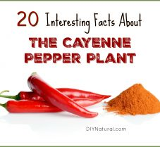 20 Interesting Facts About The Cayenne Pepper Plant