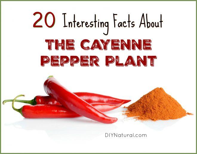 Capsicum Annuum Cayenne Pepper