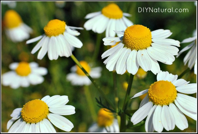 Chamomile Tea Benefits 1