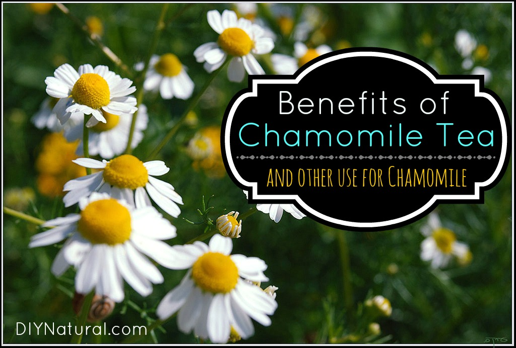 Chamomile Tea Benefits and Other Uses for Chamomile