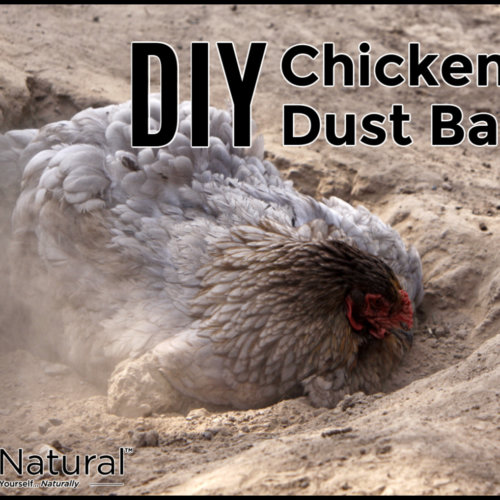 DIY Chicken Dust Bath: Protects Birds from Parasites