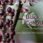 Black Cohosh and Helpful Uses, Beyond Menopause