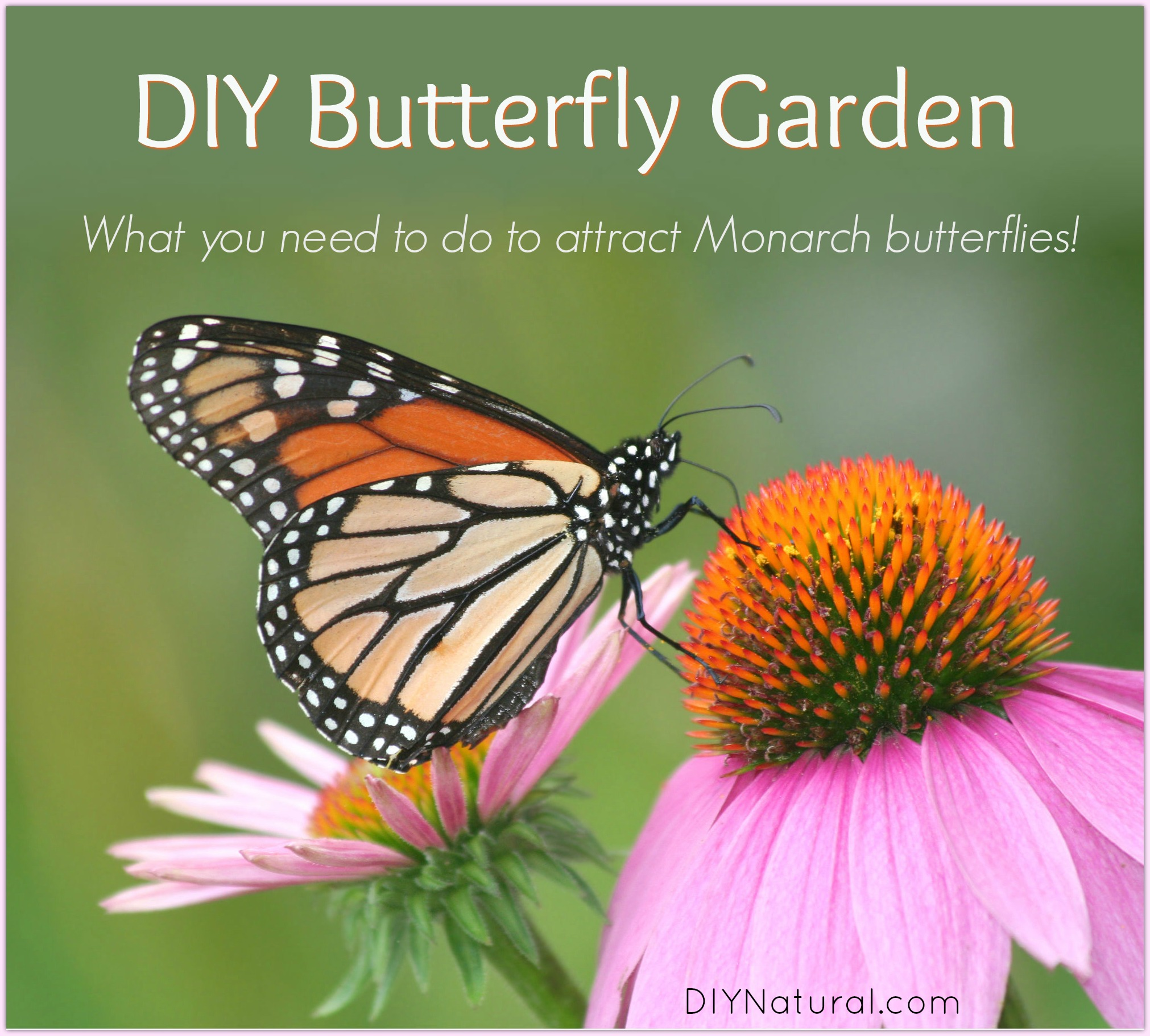 DIY Butterfly Garden: Attract Monarch Butterflies to Your Butterfly ...