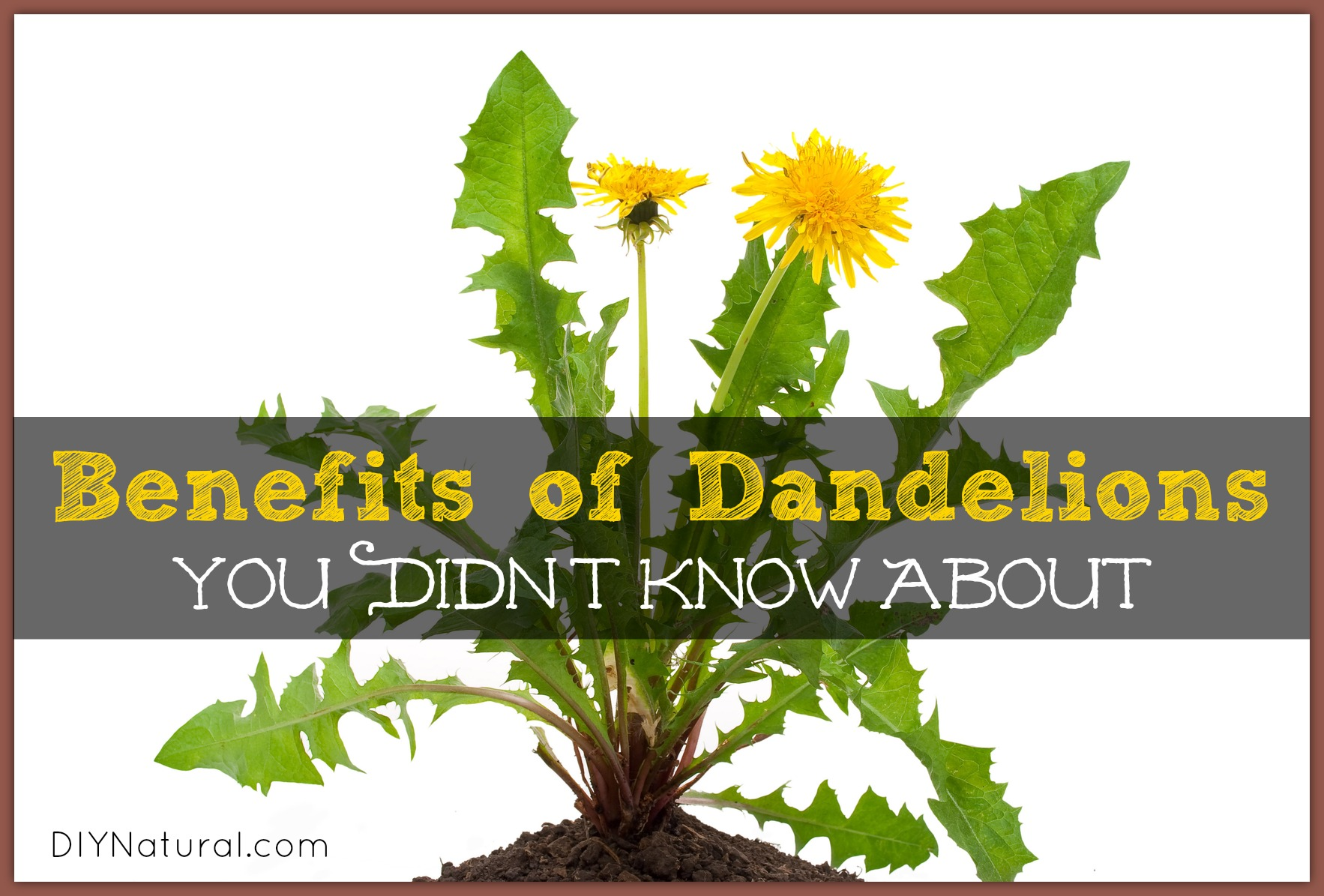 Dandelion Benefits - Greens, Roots, and Dandelion Tea
