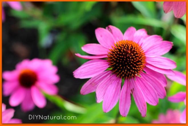 Echinacea Benefits 1