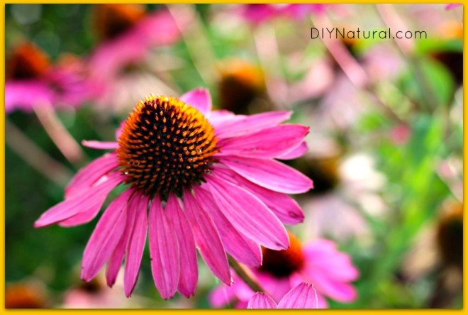 Echinacea Benefits 2