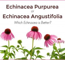 Echinacea Purpurea or Angustifolia: Which is Best?