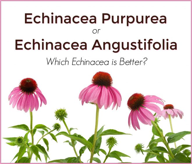 Echinacea Purpurea or Echinacea Angustifolia