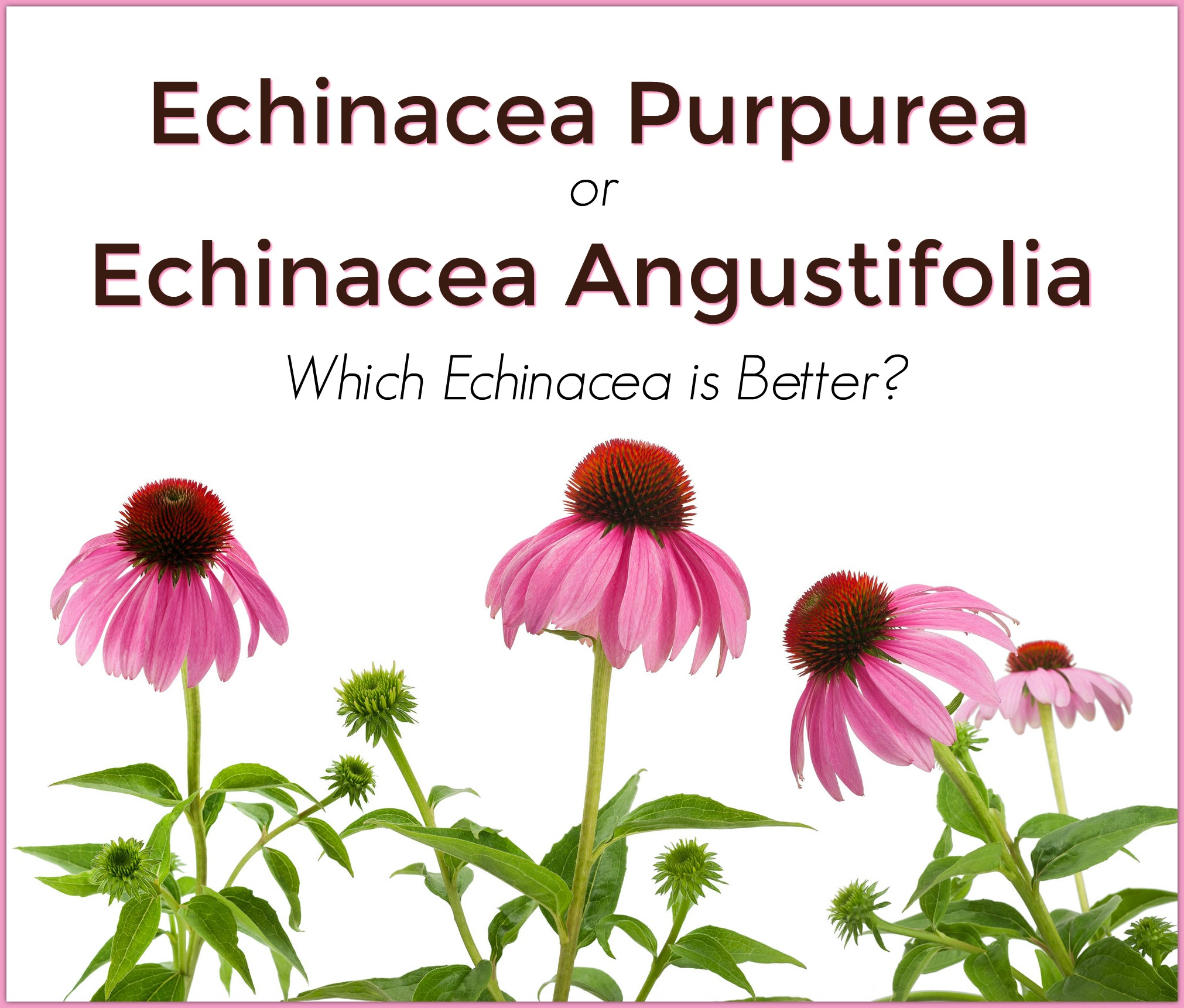 Echinacea Purpurea Or Echinacea Angustifolia Which Echinacea Is Best