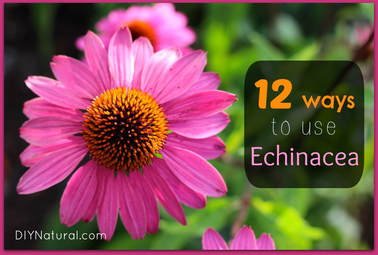 Echinacea tincture. Properties and application 58