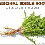Medicinal Edible Roots to Harvest in Fall and Winter