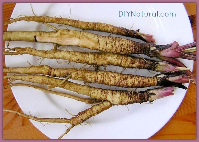 Edible Weeds Burdock Root