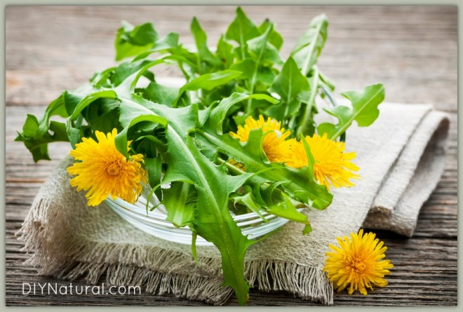 Edible Weeds Dandelion Greens and Flowers