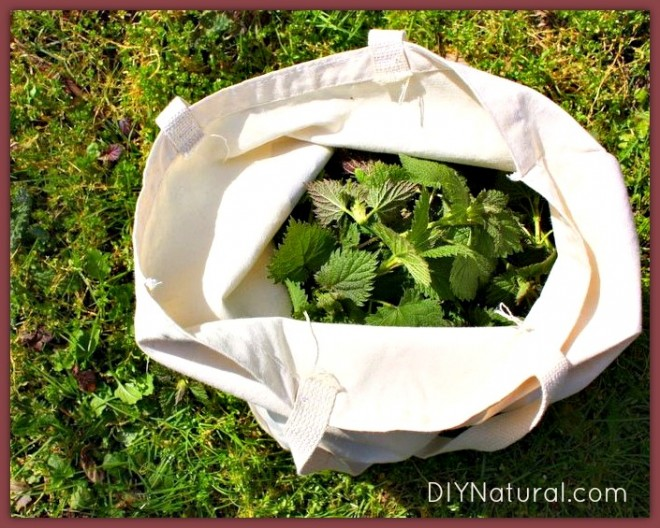 Edible Weeds Nettle