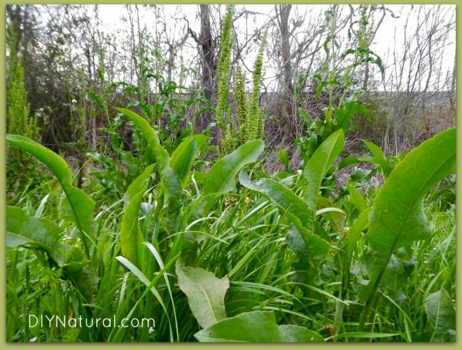 Edible Weeds Yellow Dock Leaf