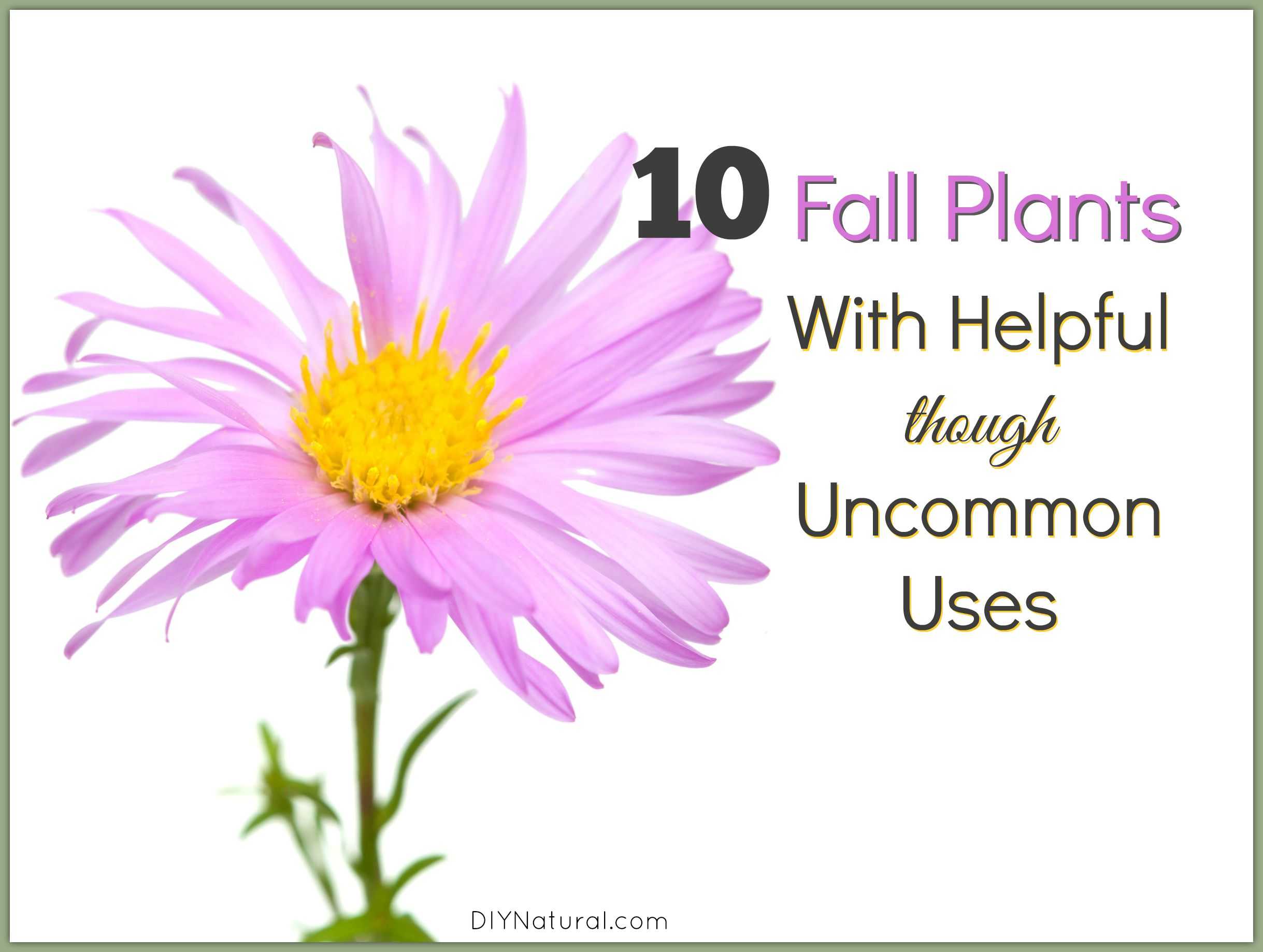 Fall plants with helpful uses you never knew about izmirmasajfo