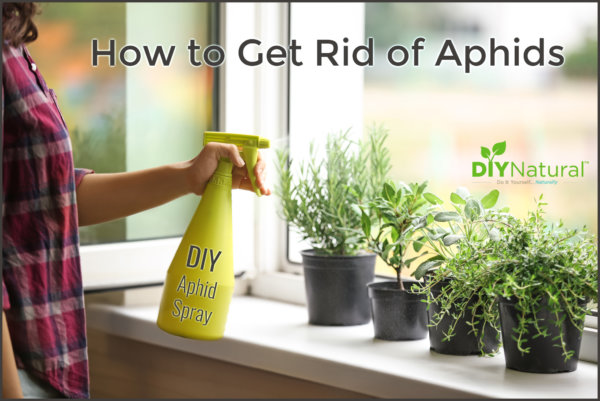 Get Rid of Aphids Homemade Spray