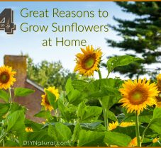 Four Great Reasons to Grow Sunflower this Year
