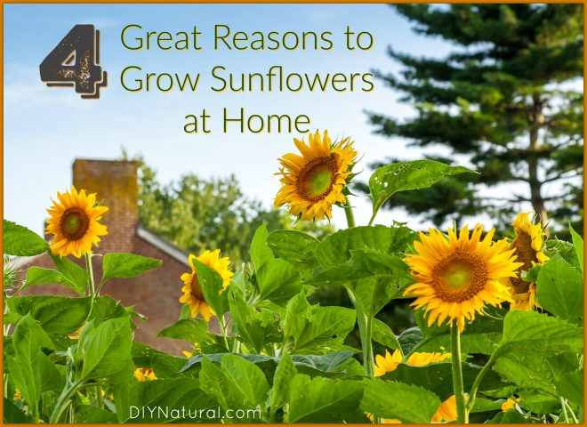 Grow Sunflower
