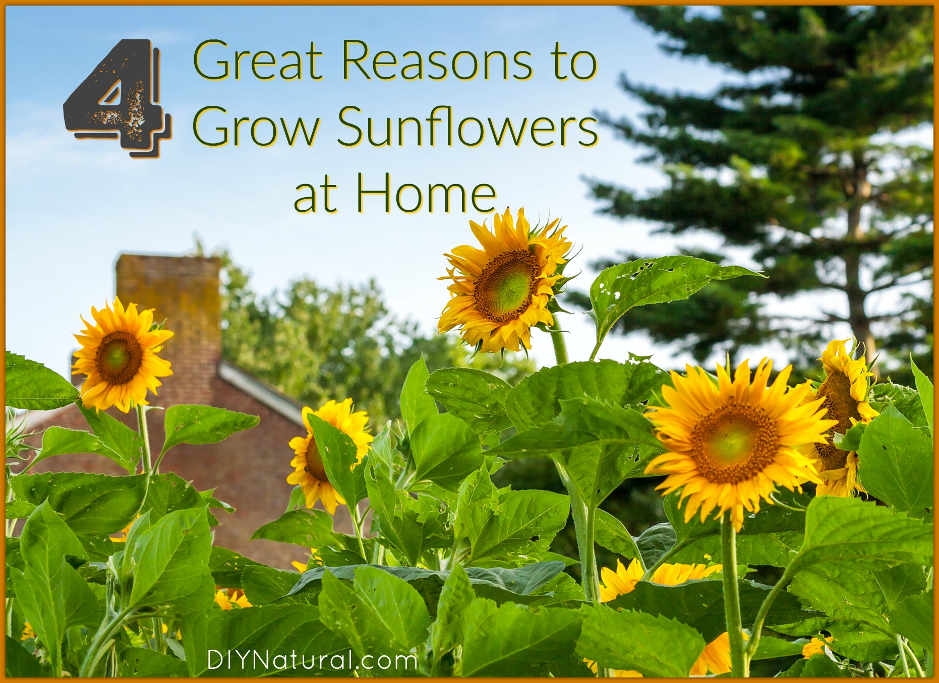 Grow Sunflower Four Great Reasons For Growing Sunflowers