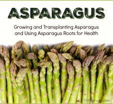 Transplanting Asparagus and Using the Roots for Health
