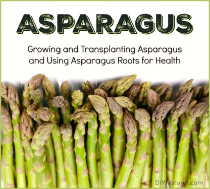 Growing Asparagus Roots