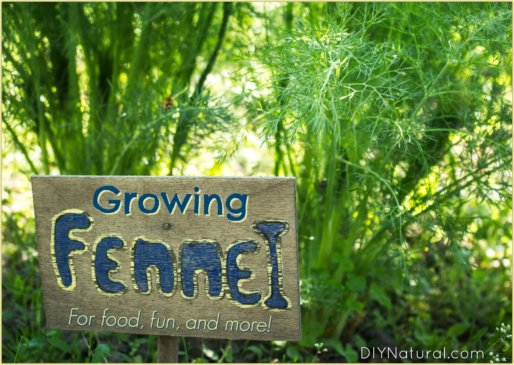 Growing Fennel