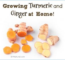 Learn How to Grow Your Own Ginger and Turmeric