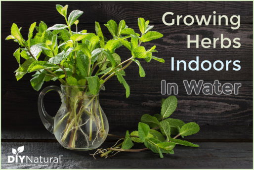 Growing Herbs Indoors in Water