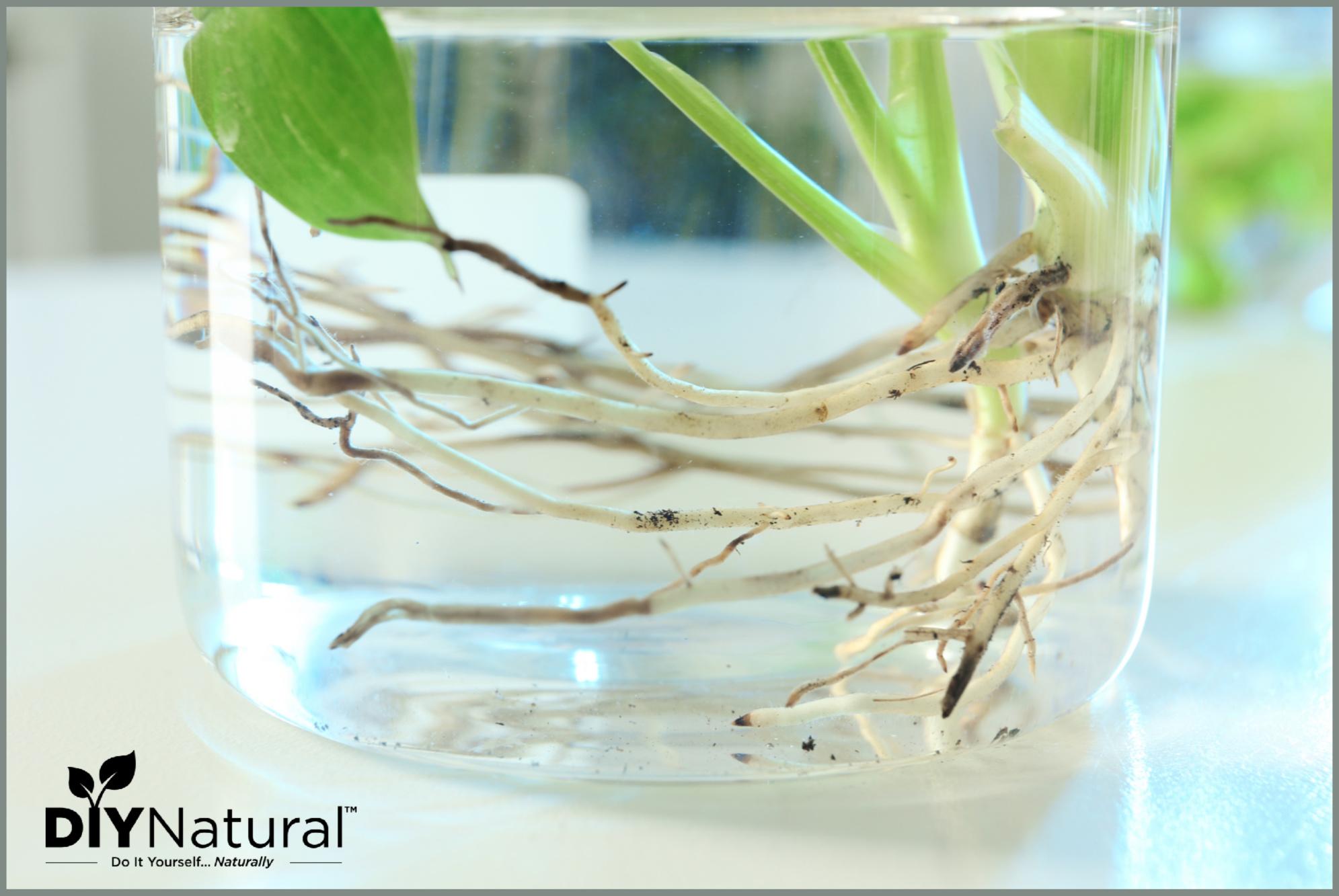 Growing Herbs In Water
