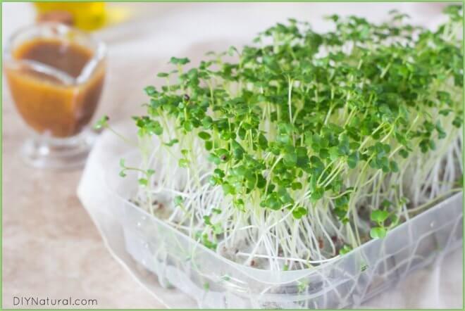 Growing Microgreens 1