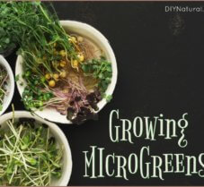 Grow Microgreens: A Treat for Frustrated Gardeners