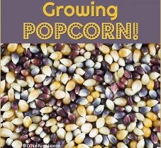 Reasons You Should Be Growing Your Own Popcorn