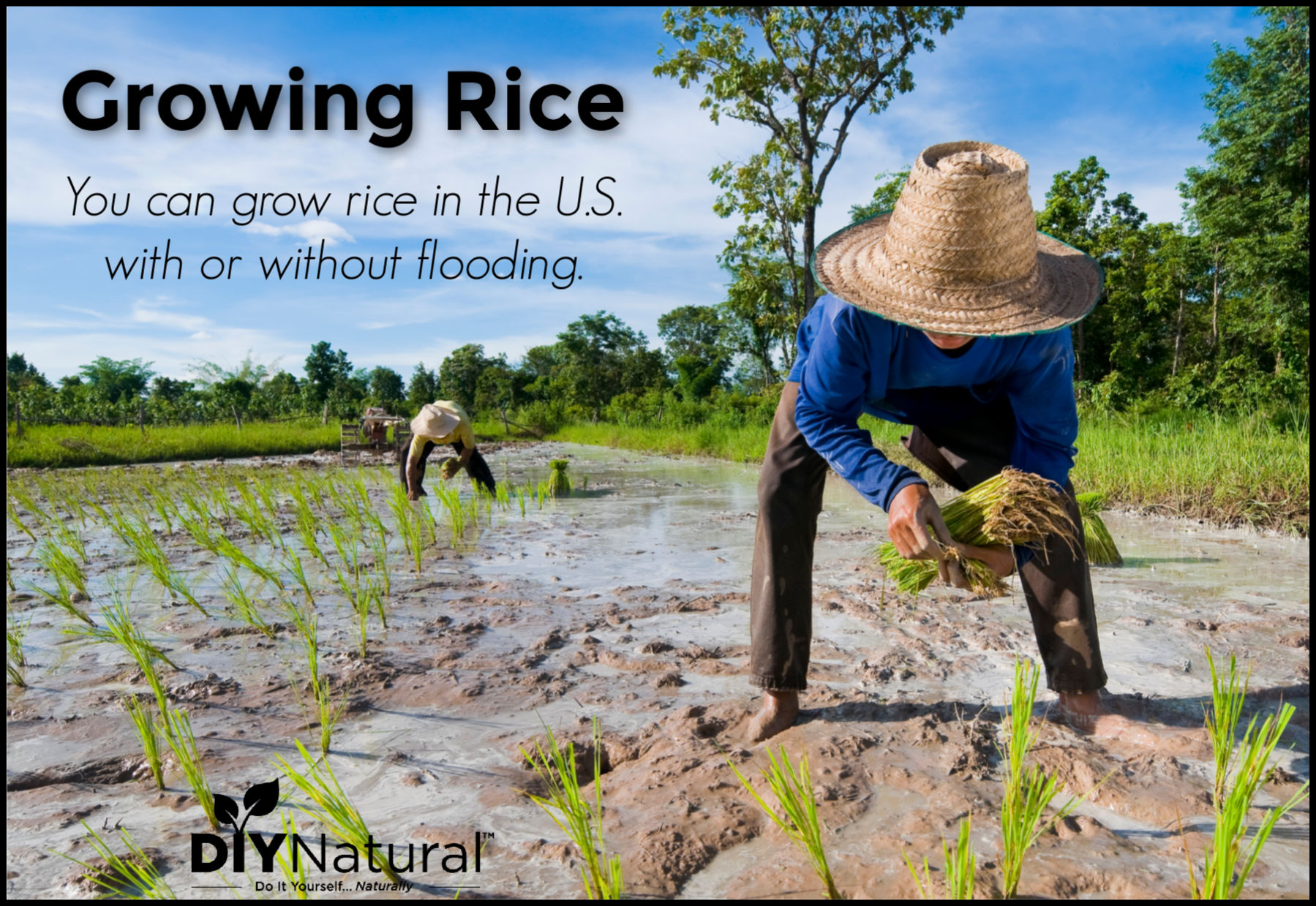 Growing Rice You Can Grow Rice In The U S With Or Without Flooding