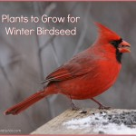 Growing Sunflowers and Other Plants for Birdseed